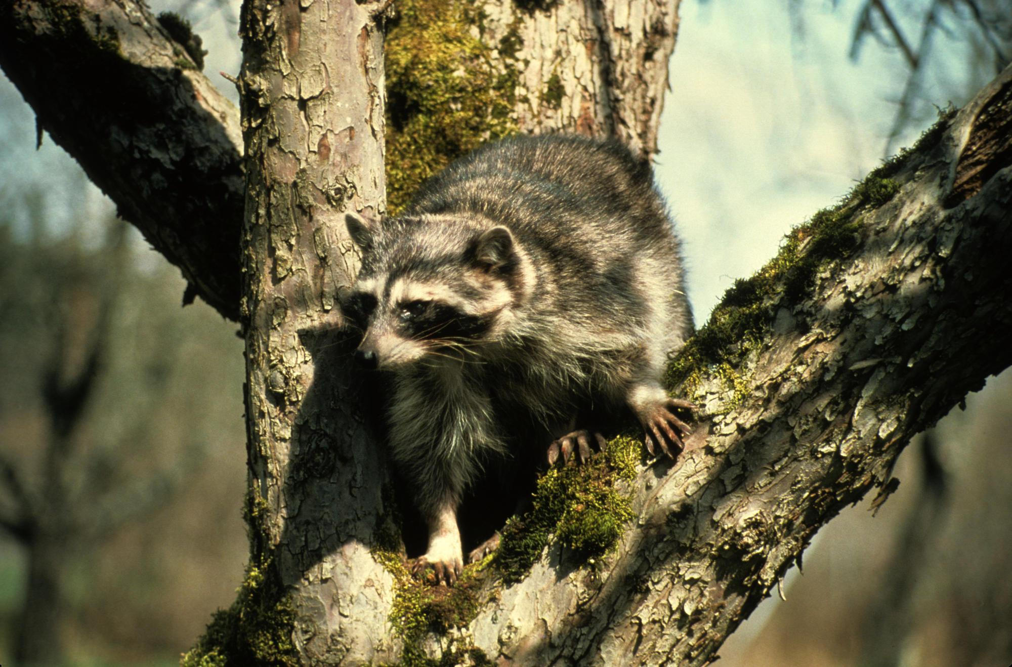 OSU offers tips to deter pillaging raccoons | OSU Extension