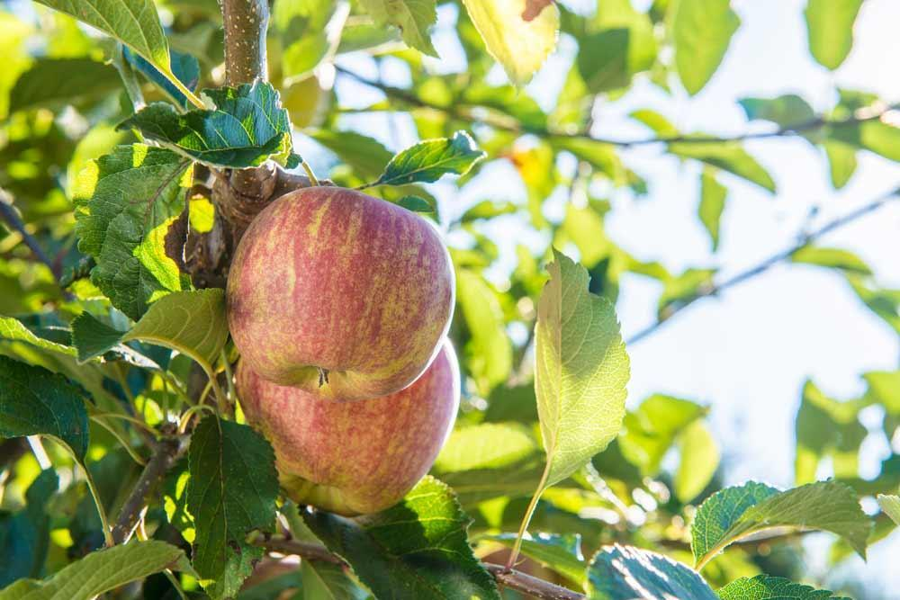 Get a leg up on fruit tree problems with dormant oils | OSU
