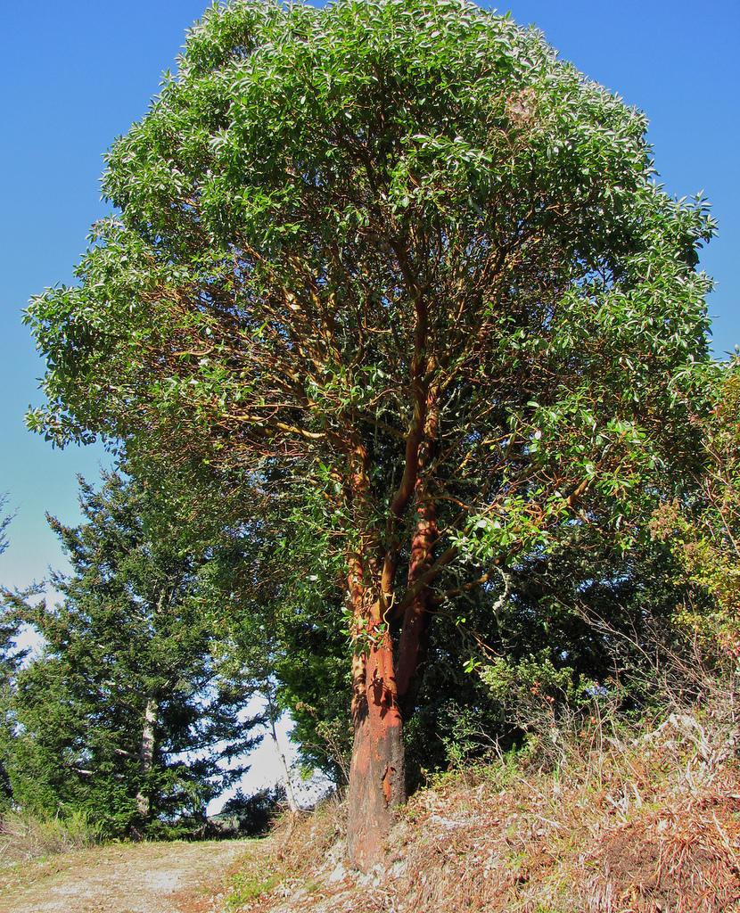Madrone Tree
