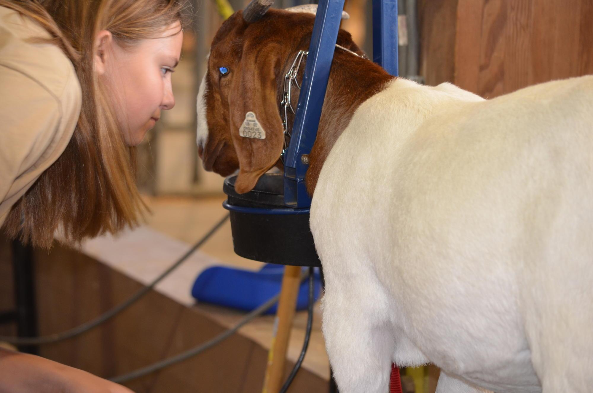 4-H member enjoying being with her goat