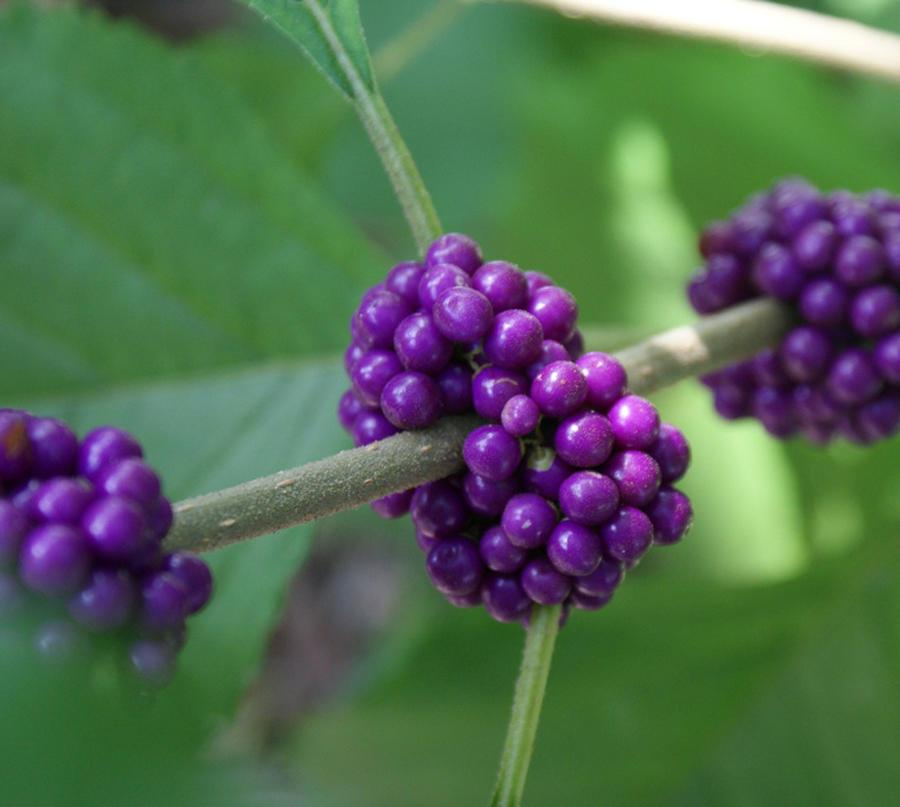 Five Berry Bearing Shrubs To Feed Birds In Winter Osu Extension