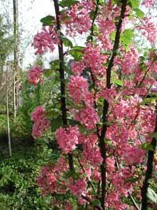 Plant Native Oregon Shrubs Now Osu Extension Service