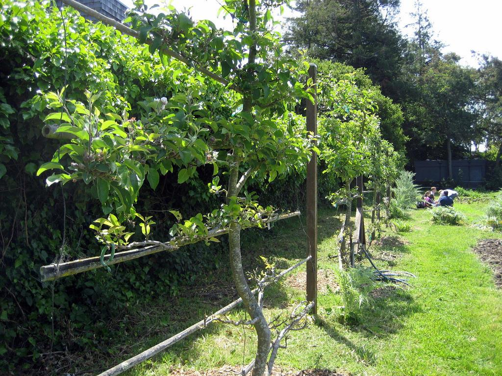 Espaliered Fruit Trees Are Typically Supported Along Straight Horizontal Lines