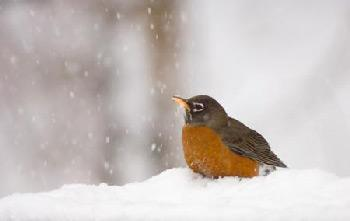 How to help robins through the winter in your yard and