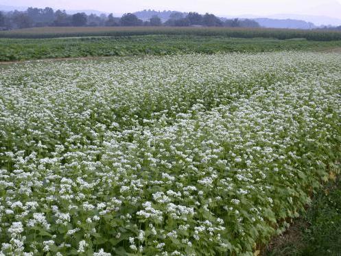 Buckwheat makes a good summer cover crop for gardens | OSU Extension Service