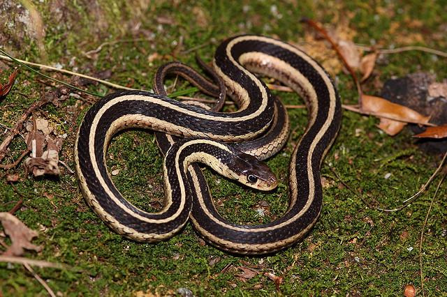 Snakes slither through the garden eating slugs, grubs and