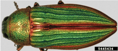 Image of golden buprestid
