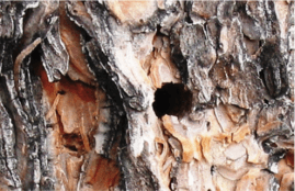 Image of exit holes of adult flatheaded wood borer