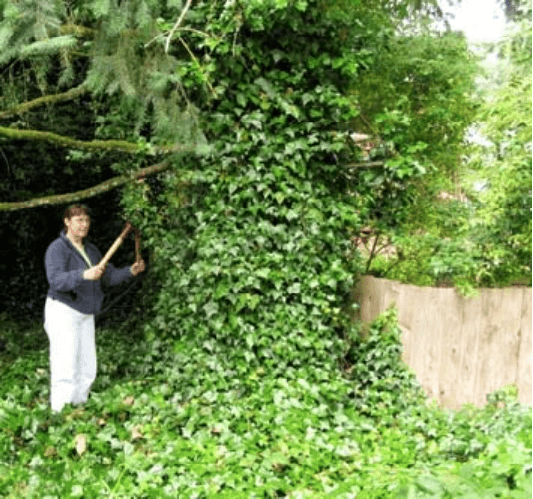 Ivy Removal In A Home Landscape Osu Extension Service