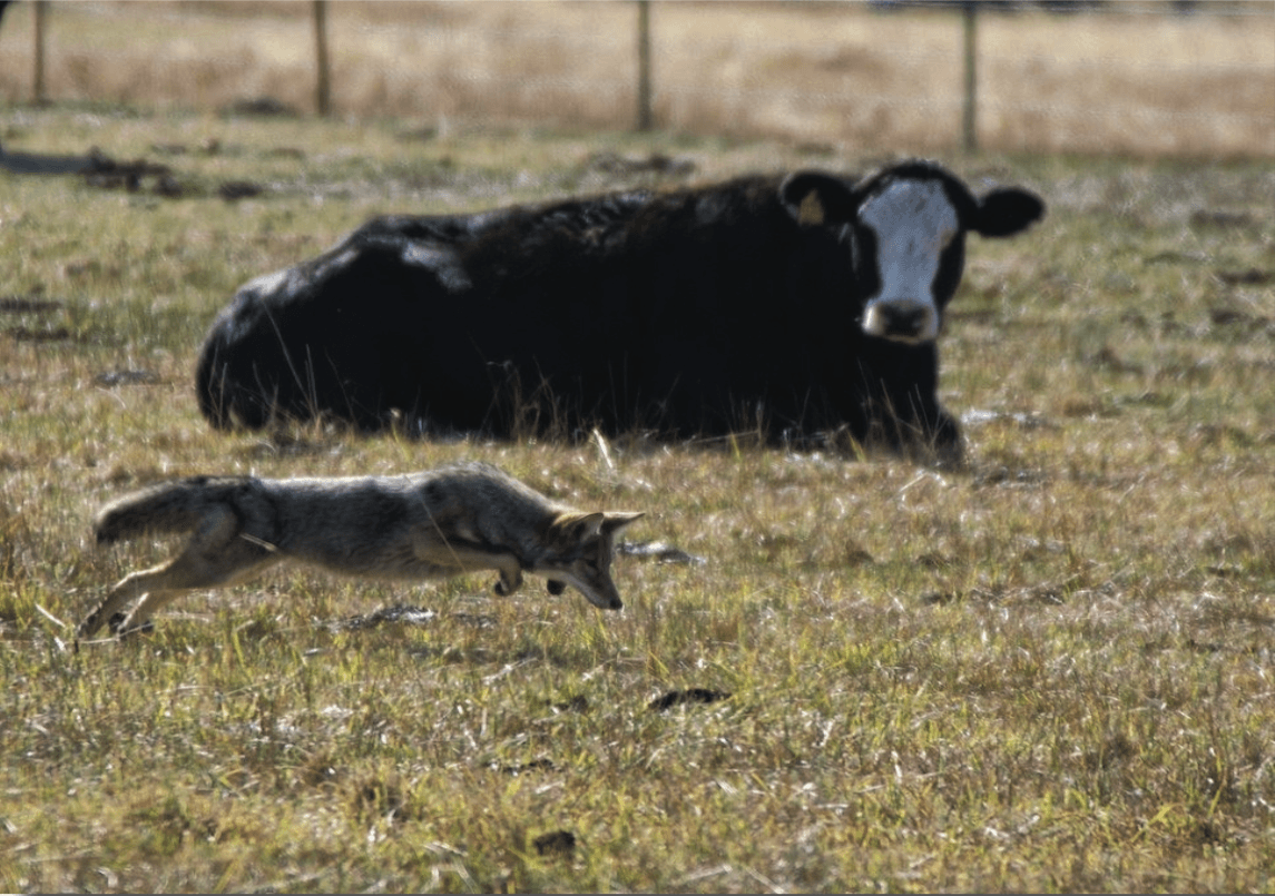 Cow in field laying down and coyote leaping on rodent