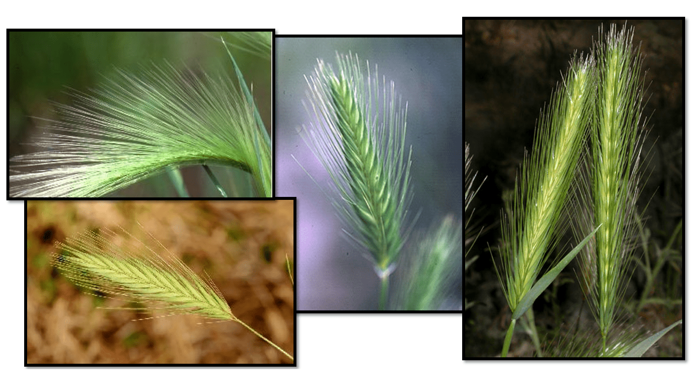 Foxtail Control In Pastures And