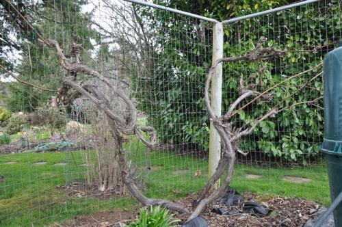 Out Of Control Grape Vines Osu Extension Service