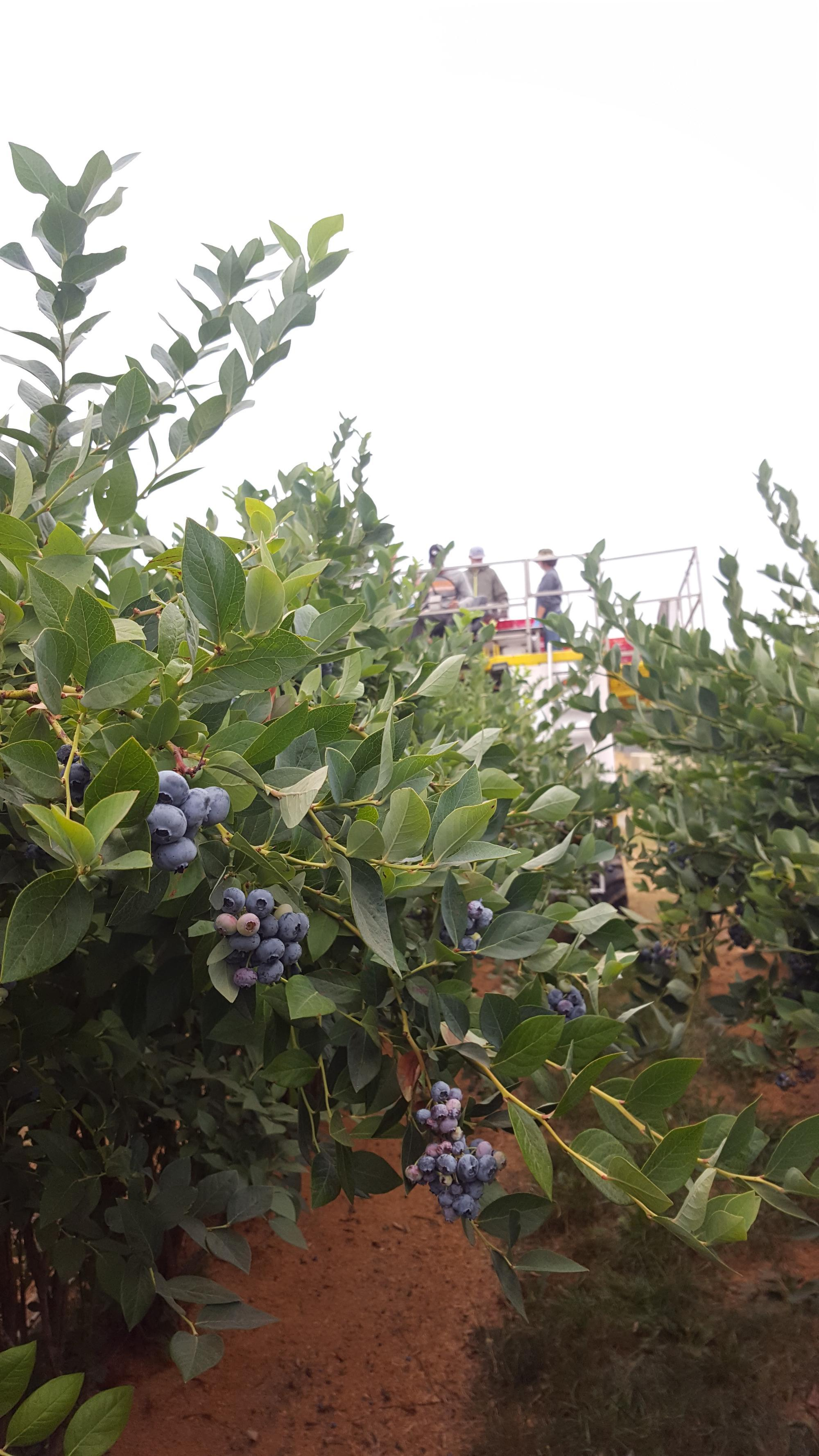 'Elliott' blueberries are machine harvested for a research trial in August 2018