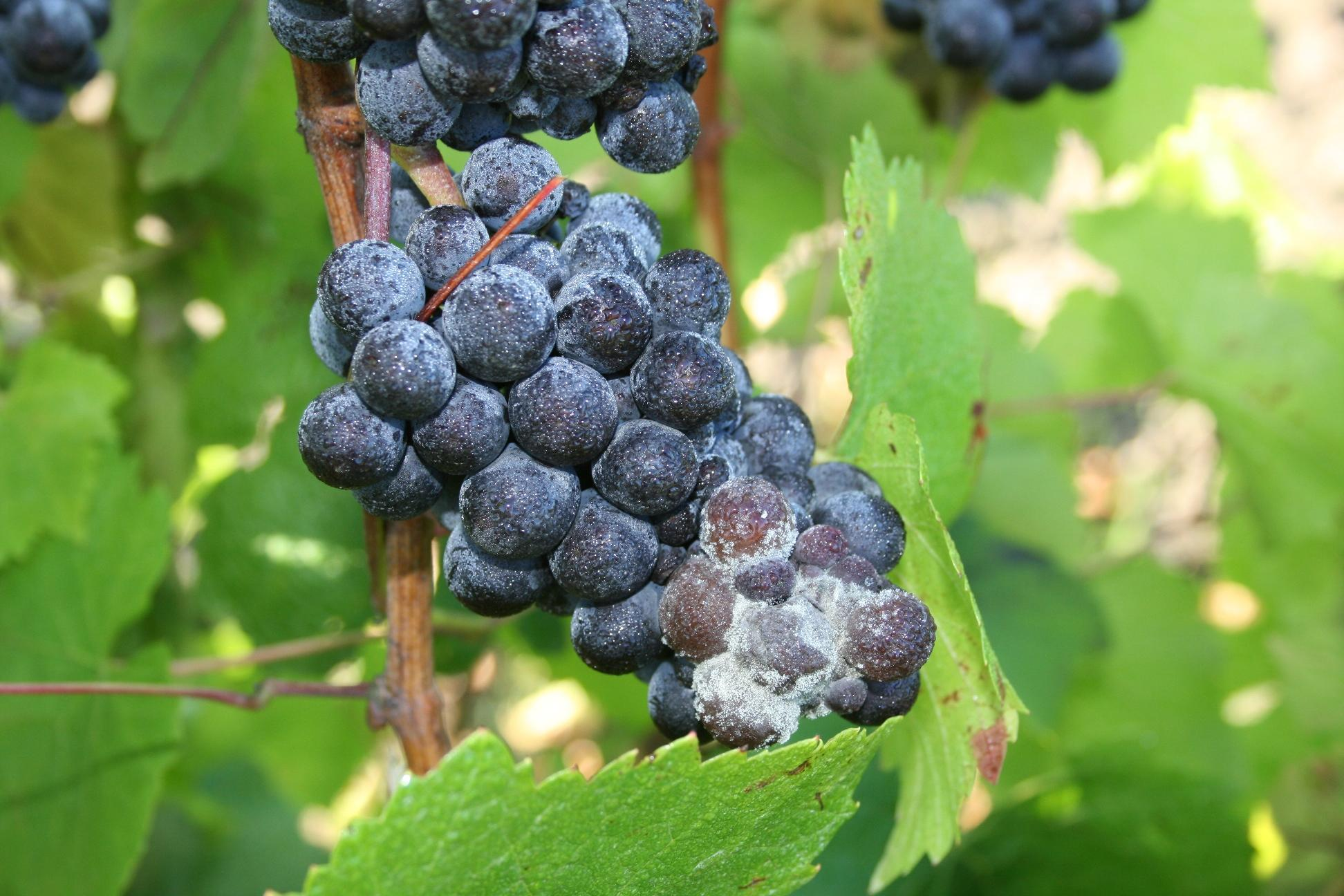 Botrytis bunch rot of grapes