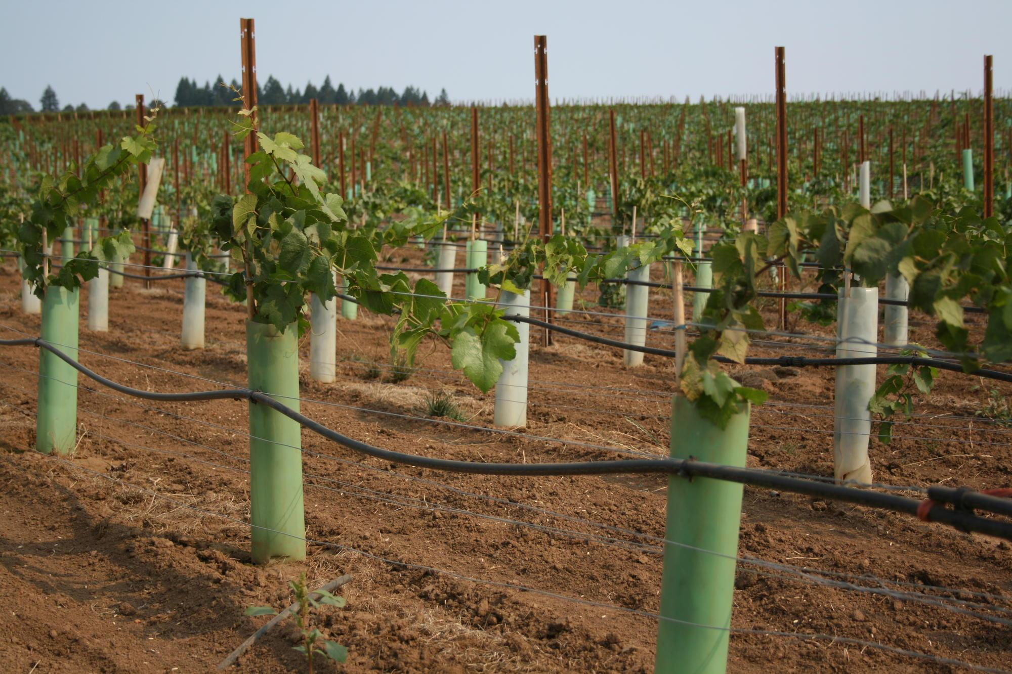 How To Establish A Wine Grape Vineyard Osu Extension Service