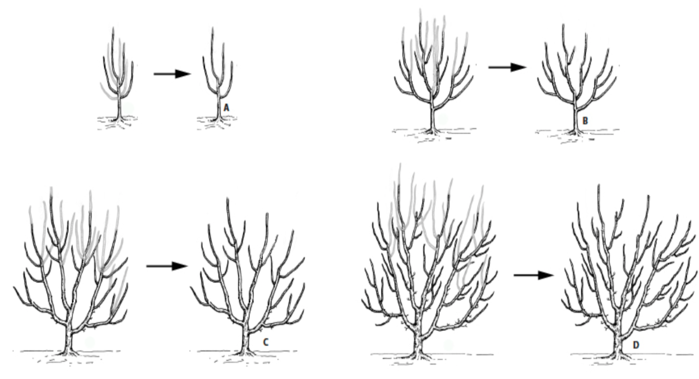 Pruning Hazelnut Trees A Basic Guide Osu Extension Service