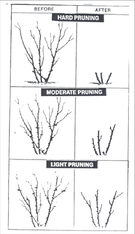 Pruning Roses Osu Extension Service