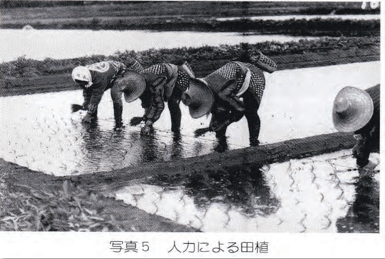 Rice transplanting by hand before the invention of the transplanter.