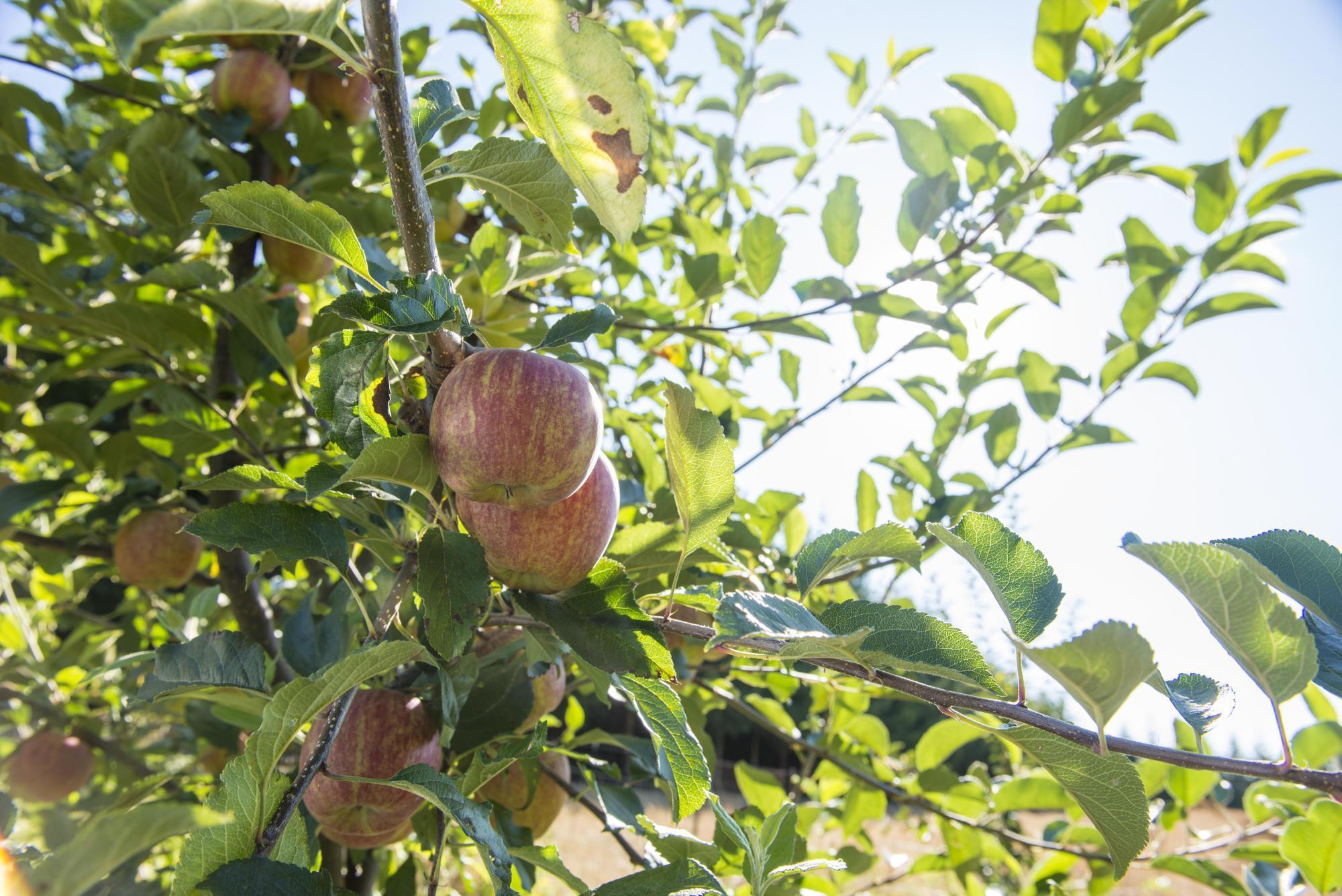 Fertilizing Fruit Trees Osu Extension Service