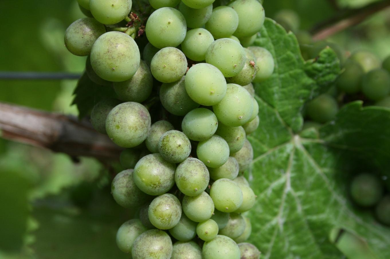 Pinot noir cluster with grape powdery mildew infection before veraison