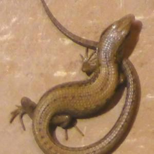 Brown lizard on an apartment floor