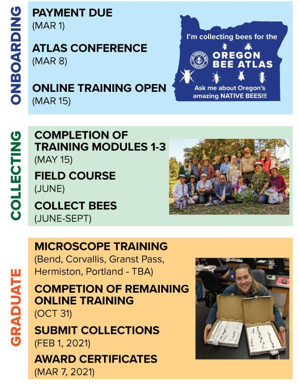 Onboarding: Payment due March 1, Atlas Conference March 8, Online training open March 15. Collecting: Completion of training modules 1 to 3 May 15, Field course June, Collect bees June to September. Graduate: Microscope training (Bend, Corvallis, Grants Pass, Hermiston, Portland TBA), Completion of remaining online training Oct 31, Submit Collections Feb. 2021, Award certificates March 7 2021.