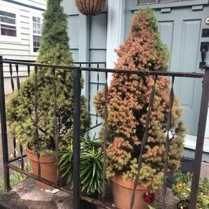 two small pine trees in pots on a patio