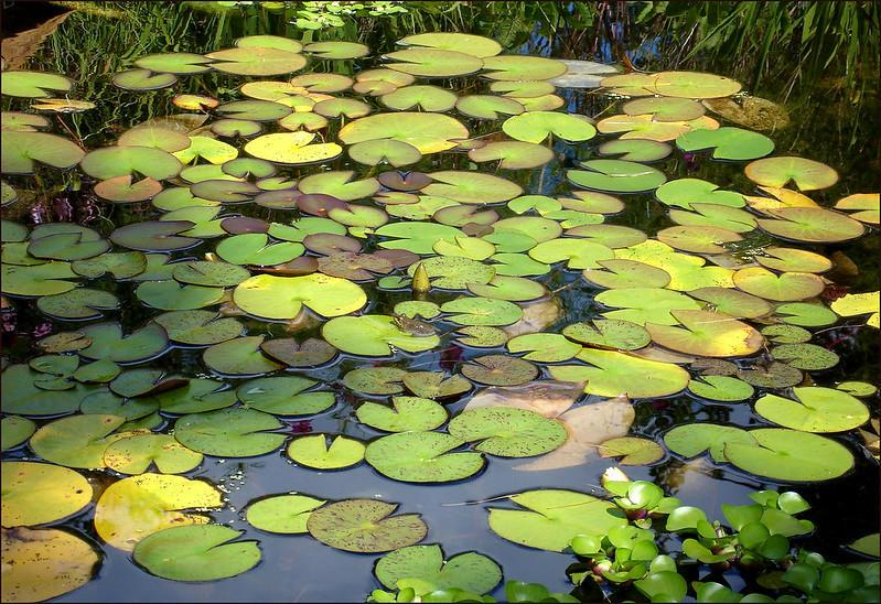 backyard pond with lilly pads