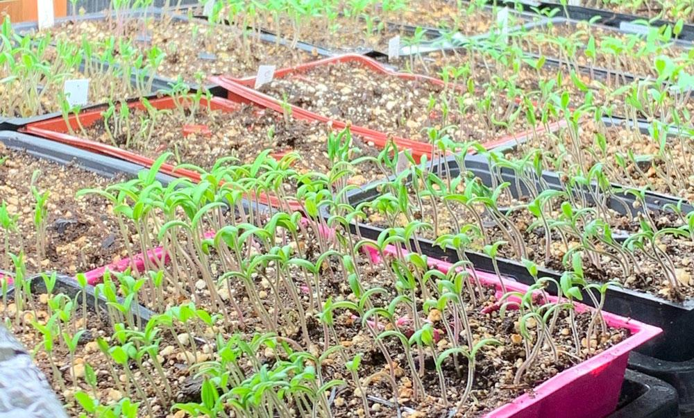 A portion of the tomato starts Lane County Master Gardeners donated to nonprofits.