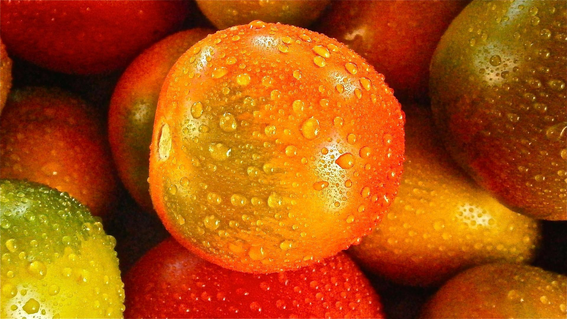 Many tomatoes - sprinkled with dew drops