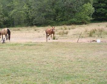 Horses walking around and eating on an overgrazed pasture