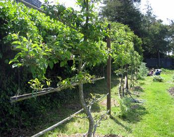 Training A Fruit Tree Into An Espalier Takes A Good Dash Of
