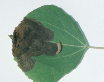 The larva mine between the top and bottom layers of the leaf.  The larva was pulled out for photo to show it's size.