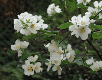 mock orange with white flowers