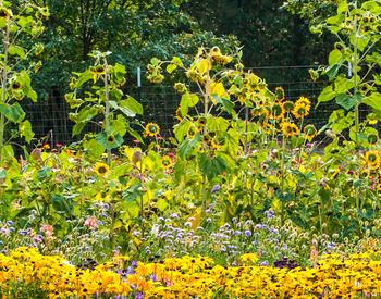 Garden vignette with sunflowers and Black-eyed Susan (Rudbeckia).