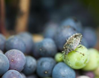 Brown marmorated stink bug clings to ripening wine grapes