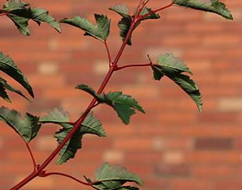 Thin tree branch extending with leaves. A brick wall is in the background