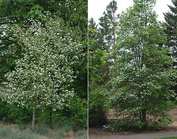 Side-by-side photos of trees flowering