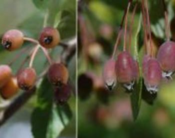 Side-by-side of buds ready to blossom