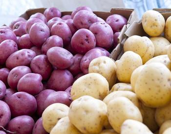 Red potatoes and regular potatoes collected in a cardboard box