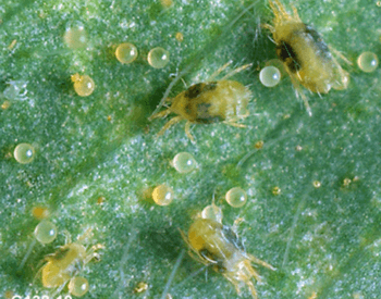 Twospotted spider mite adults and eggs.