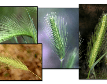 Several species of foxtail-like grasses invade western Oregon.