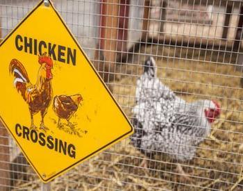 "sign that says ""chicken crossing"" with a chicken walking in the background"