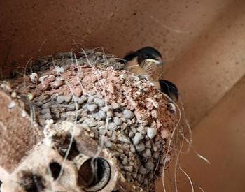 Two swallows in a nest