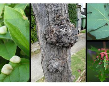 various plant galls