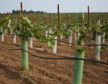 Newly planted vineyard