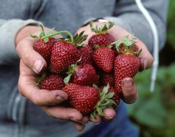 Two hands holding ripe strawberries