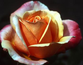 A rose that is orange in the middle and light pink on the outside