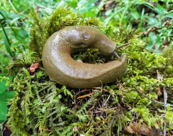 A slug curled up on a bed of moss