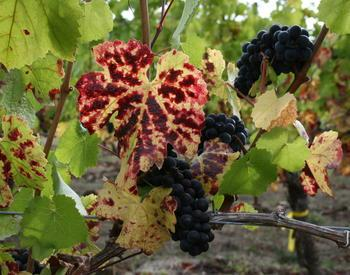 Red Blotch Disease in Pinot Noir